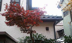 2011-12-06 09_10_56momizi.jpg