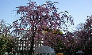 2012-04-01 07_14_23上野桜.jpg