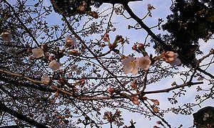 2012-04-05 06_41_53 5b分咲き.jpg