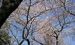 2012-04-08 15_27_40sakura.jpg