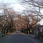谷中の桜 1