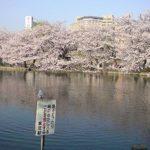 忍ばずの池の桜