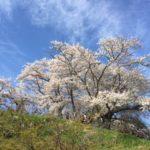 桜を追いかけて(温泉旅行会)