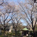 谷中六角堂(岡倉天心記念公園)の桜