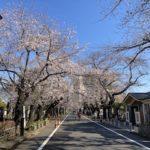 谷中墓地の桜