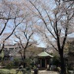 谷中の桜 追伸